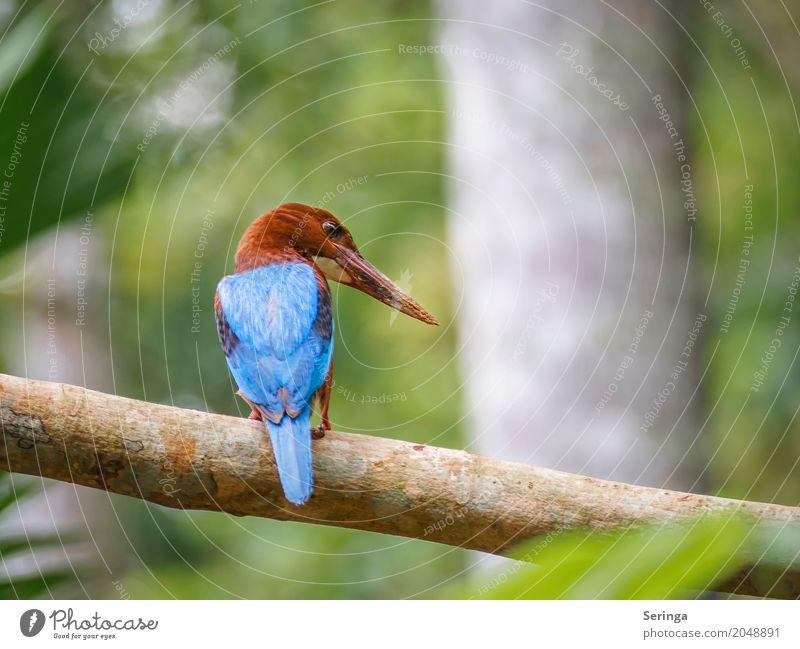 Von hinten der King Fisher aus Sri Lanka Natur Landschaft Pflanze Tier Baum Wald Urwald Seeufer Flussufer Teich Bach Wasserfall Wildtier Vogel Tiergesicht