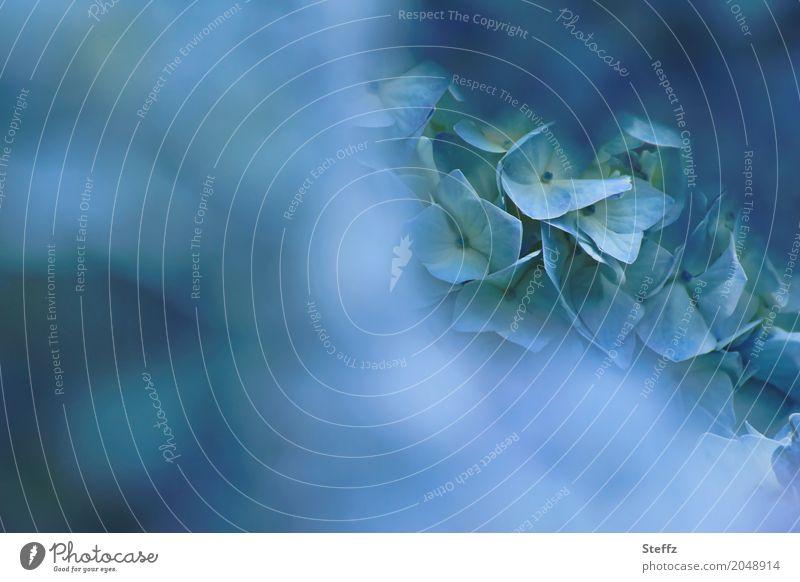 image of blue Natur Pflanze blau Sommer Farbe schön Blume Blüte Garten Park Blühend Romantik weich Blütenblatt hell-blau Hortensie
