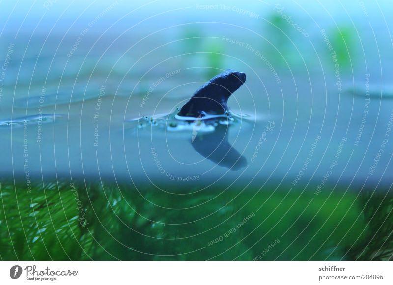 Haiflosse Umwelt Natur Tier Frosch Aquarium 1 Tierjunges Wasser Wasserpflanze Wasseroberfläche Nahaufnahme Detailaufnahme Makroaufnahme Unterwasseraufnahme