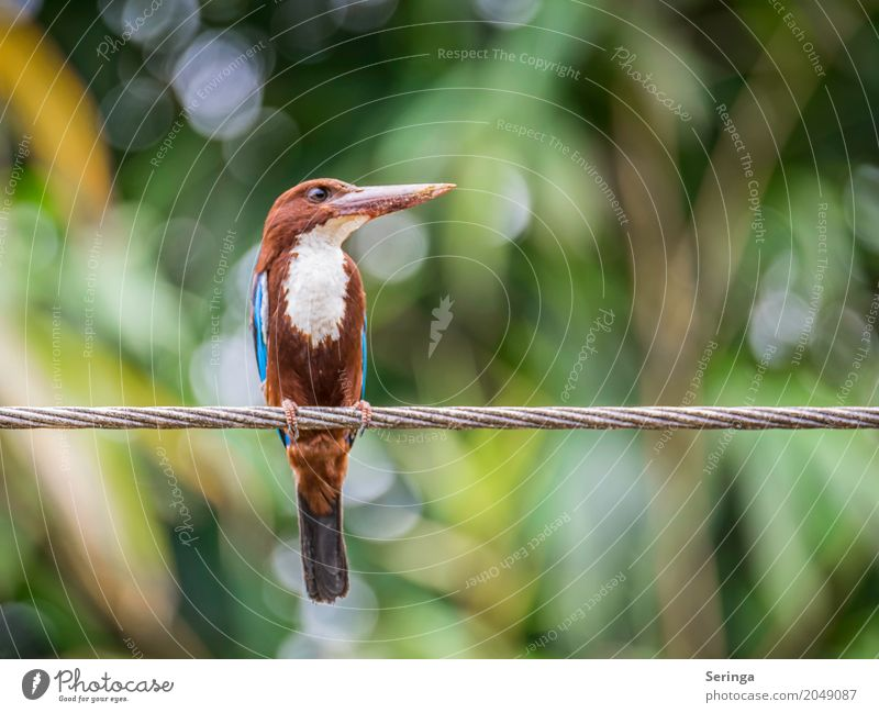 Eisvogel auf Sri Lanka Natur Pflanze Baum Landschaft Blatt Tier Wärme Umwelt Vogel fliegen Wildtier Schönes Wetter Flügel Urwald Tiergesicht Schnabel