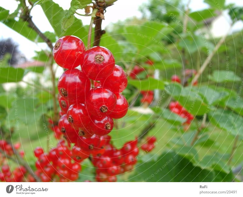 Johannisbeeren Pflanze Frucht Wut Beeren Johannisbeeren