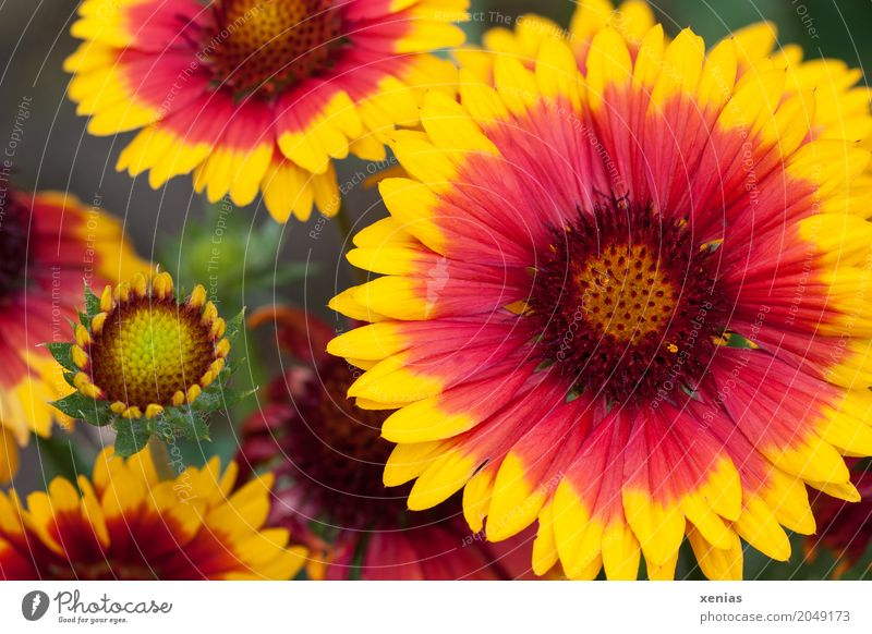 Großblumiges Mädchenauge in Rot und Gelb Sommer Herbst Blume Blüte gelb rot Coreopsis grandiflora xenias Pflanze Blühend
