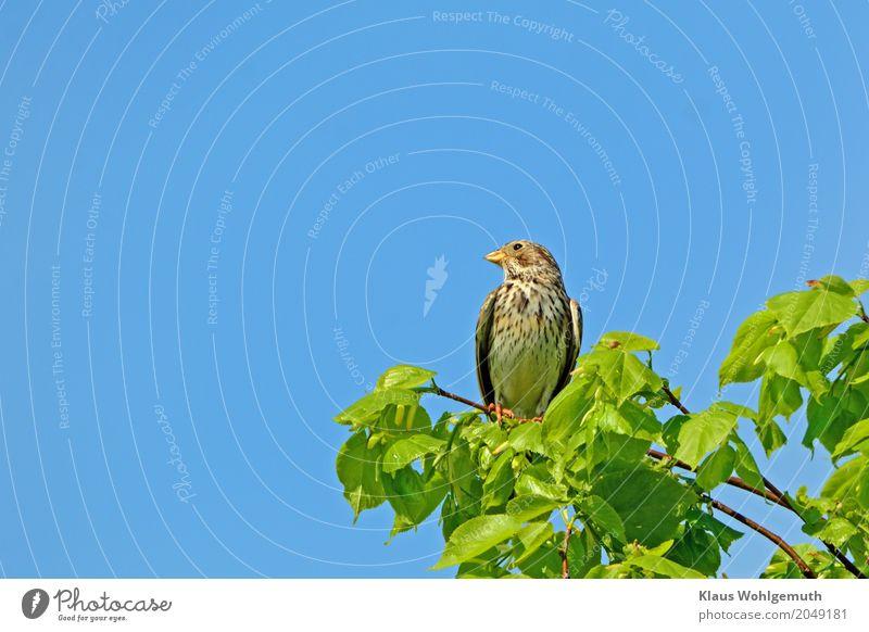 Grau, ja grau sind alle meine Kleider.... Umwelt Natur Pflanze Tier Himmel Wolkenloser Himmel Sonnenlicht Frühling Sommer Baum Linde Wiese Feld Vogel