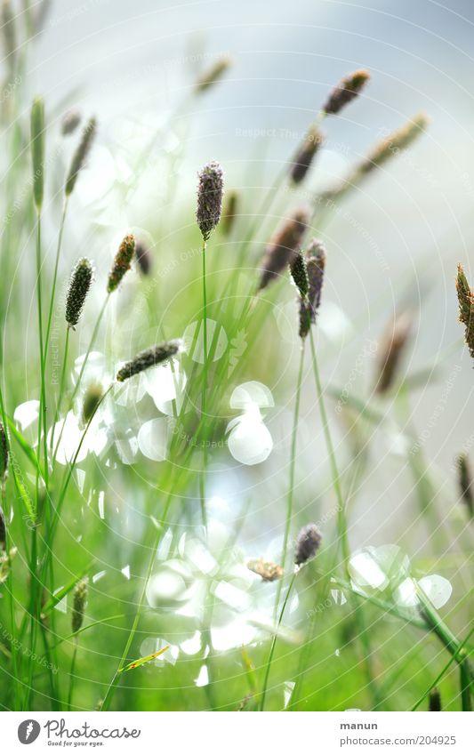 Sommergräser Natur schön Pflanze Sommer Blüte Gras Frühling hell glänzend Wachstum Sträucher leuchten Schilfrohr Seeufer See Pollen