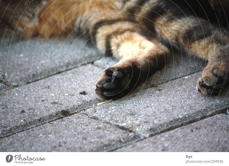 Lungerei Tier Haustier Katze Krallen Pfote 1 Erholung kuschlig grau Glück Zufriedenheit Coolness Gelassenheit Müdigkeit Erschöpfung Tigerfellmuster Fell Beine