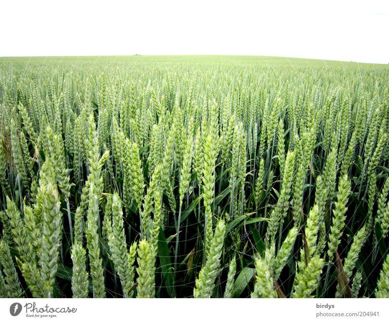 Food for everybody Natur grün Pflanze Sommer Ferne Feld Lebensmittel Horizont Unendlichkeit Getreide Reichtum Landwirtschaft Weitwinkel Weizen Ähren Nutzpflanze