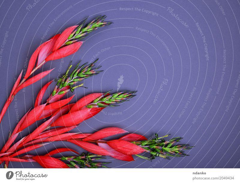 rote Billbergia Blume schön Dekoration & Verzierung Tisch Valentinstag Muttertag Ostern Geburtstag Erwachsene Pflanze Blatt Blüte Blumenstrauß Holz Liebe frisch