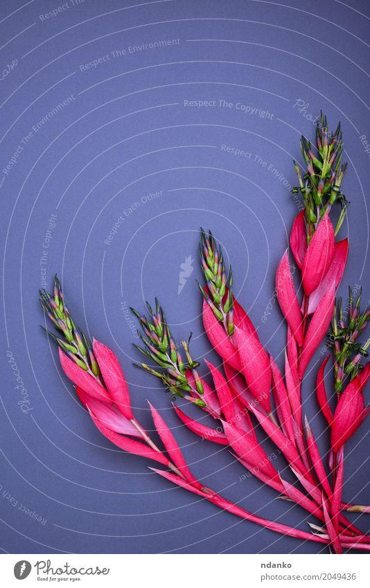 Blumenstrauß aus rosa Billbergia schön Dekoration & Verzierung Tisch Valentinstag Muttertag Ostern Geburtstag Pflanze Blatt Blüte Liebe frisch hell natürlich