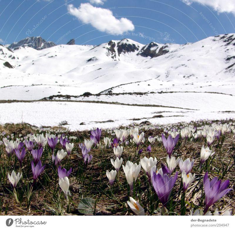 Frühling in der Höhe Ferien & Urlaub & Reisen Freiheit Schnee Berge u. Gebirge Landschaft Pflanze Himmel Wolken Schönes Wetter Blume Blüte Wildpflanze Krokusse