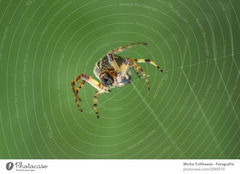 Spinne im Spinnennetz Natur grün Sonne Tier schwarz Umwelt gelb natürlich klein orange Angst Wildtier Schönes Wetter beobachten nah Netz