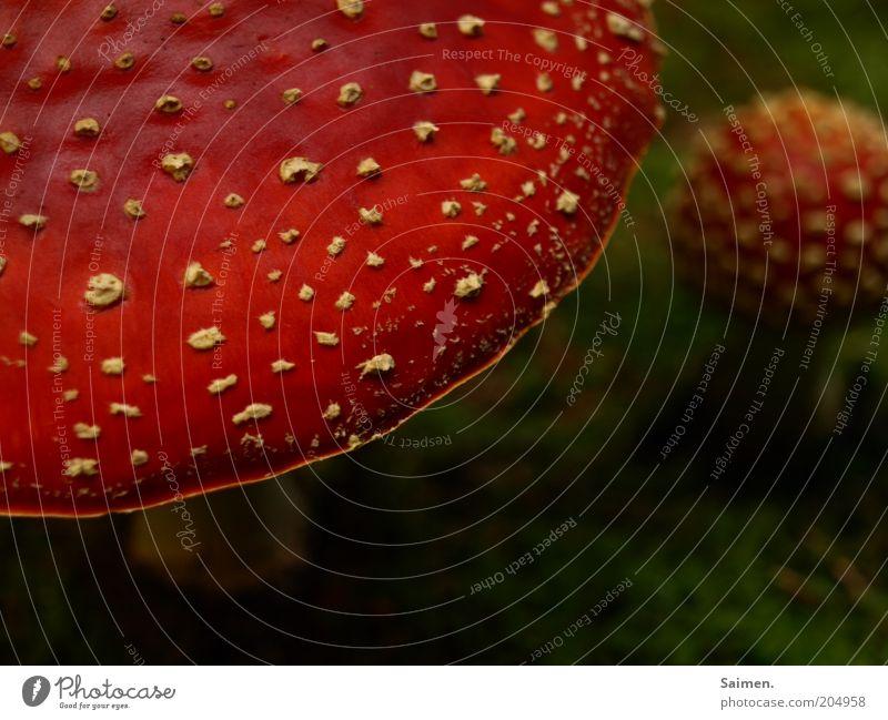 reinbeißen und fliegen Umwelt Natur Freiheit Idylle Pilz Fliegenpilz Punkt gepunktet rot grün Komplementärfarbe Sinneserfahrung Gift klein Leben Märchen