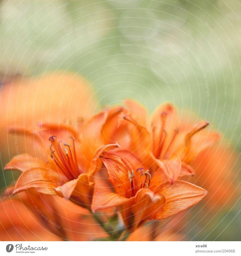 schönen guten morgen Umwelt Natur Pflanze Blume Blüte exotisch grün zart Farbfoto Außenaufnahme Nahaufnahme orange Detailaufnahme Menschenleer Blütenstempel