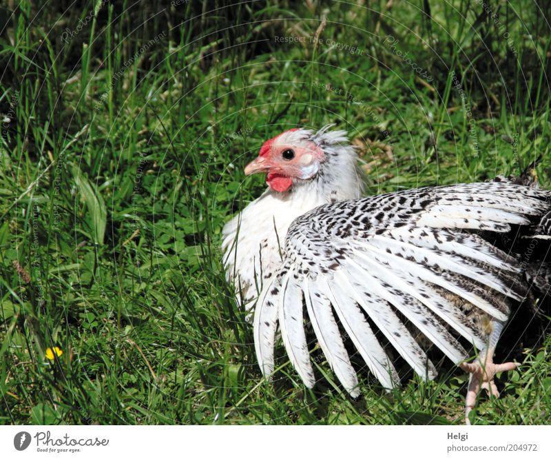 ich wollt, ich wär ein Huhn.... Natur weiß grün schön rot Sommer Tier schwarz Wiese Gras natürlich liegen außergewöhnlich ästhetisch Flügel einzigartig