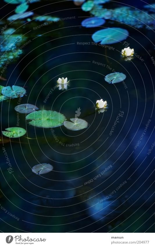 Seerosen Natur Wasser Pflanze Blume Blatt Blüte Wildpflanze Seerosenblatt Seerosenteich Teich Blühend Wachstum blau ästhetisch Umweltschutz Farbfoto