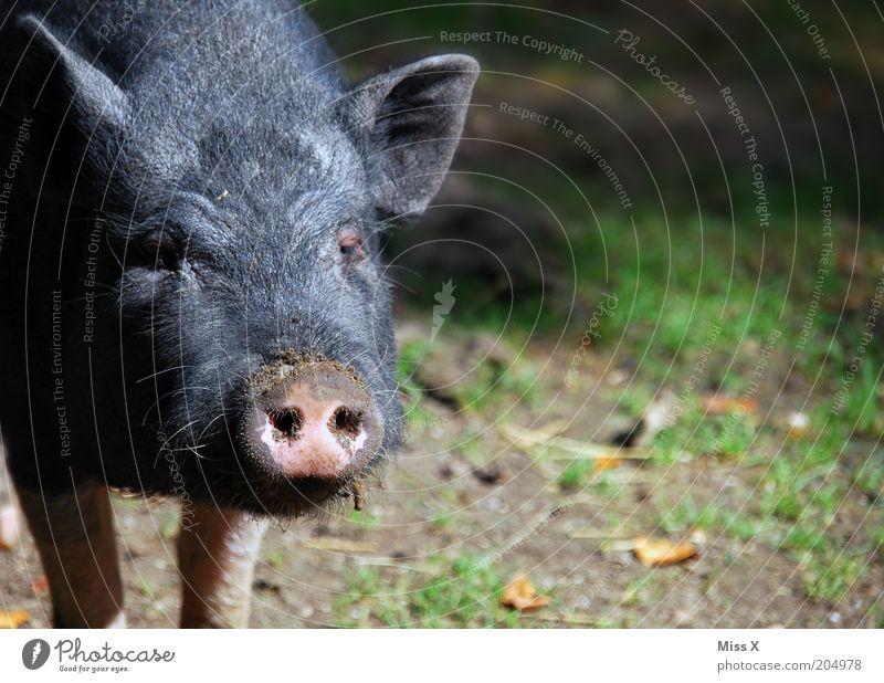 a Sugl Natur Tier Nutztier Zoo Streichelzoo 1 Tierjunges dreckig Schwein Ferkel wild Farbfoto Außenaufnahme Menschenleer Textfreiraum rechts Sonnenlicht