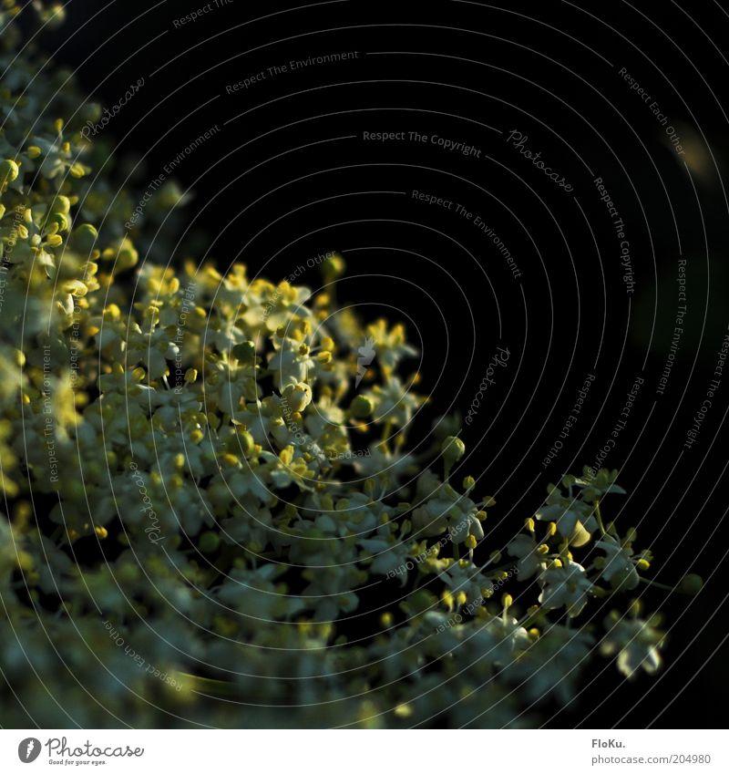 versteckt im Abendlicht Natur schön Blume Pflanze Sommer schwarz gelb Blüte klein Umwelt Sträucher nah zart filigran Fliederbusch Wildpflanze