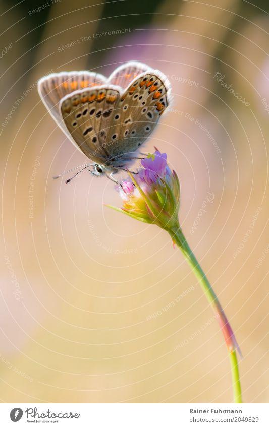 """ein kleiner Schmetterling sitzt auf einer Blüte Umwelt Natur Tier Sommer Schönes Wetter Park """"Schmetterling Falter Edelfalter Tagfalter"""" 1 """"Natur Naturschutz"""