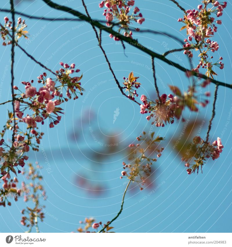 Bild Nr. 80 Himmel Natur Baum schön blau rot Pflanze Blüte rosa frisch ästhetisch Ast Blühend Blütenknospen Zweig Geäst
