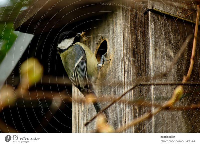 Meise mit Zweig Kohlmeise Paridae Abheben Landen Brutpflege Gelege Eltern Frühling füttern Garten Haus Meisen Nistkasten Tierpaar Futterhäuschen vogelkasten