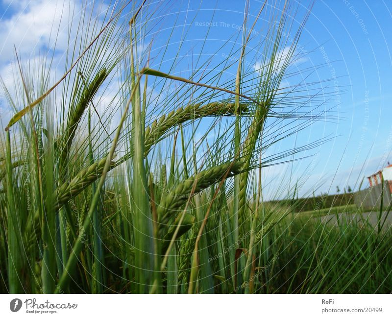 Getreide im Wind Landwirtschaft Korn Kornfeld Gerste