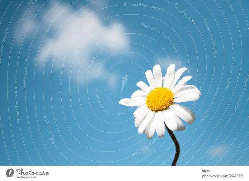 Für dich Duft Sommer Umwelt Natur Pflanze Luft Himmel Frühling Blume Blüte ästhetisch frei frisch natürlich blau Gänseblümchen Margerite Hintergrundbild