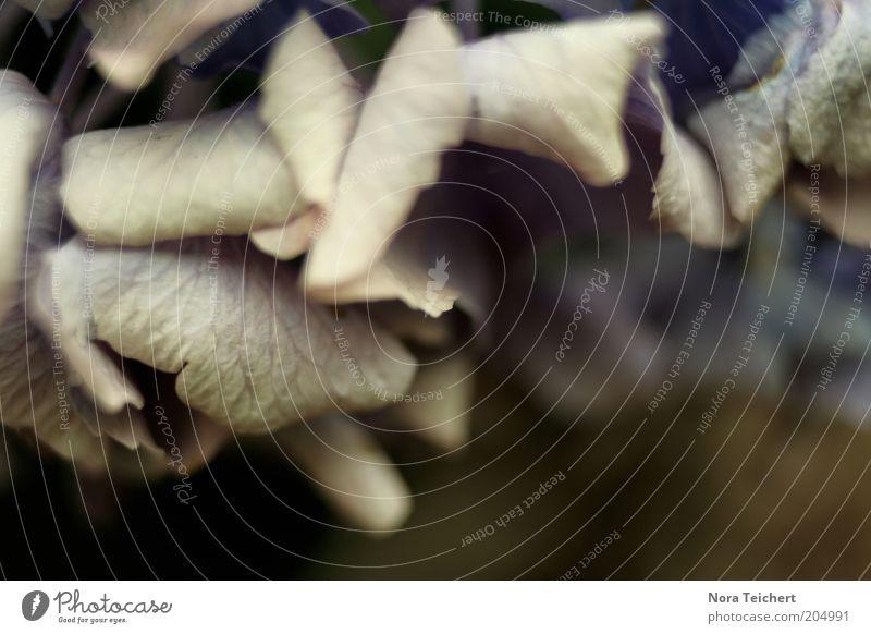 old leaves. Natur alt Pflanze Blatt Herbst Umwelt Wandel & Veränderung Vergänglichkeit trocken vertrocknet verblüht getrocknet Grünpflanze dehydrieren Hortensie