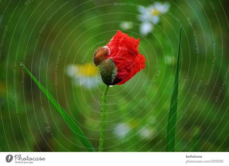 Geburt einer Blüte Umwelt Natur Pflanze Wasser Wassertropfen Sonnenlicht Sommer Blume Wildpflanze Duft einfach frisch nass natürlich schön grün rot Mohn 1