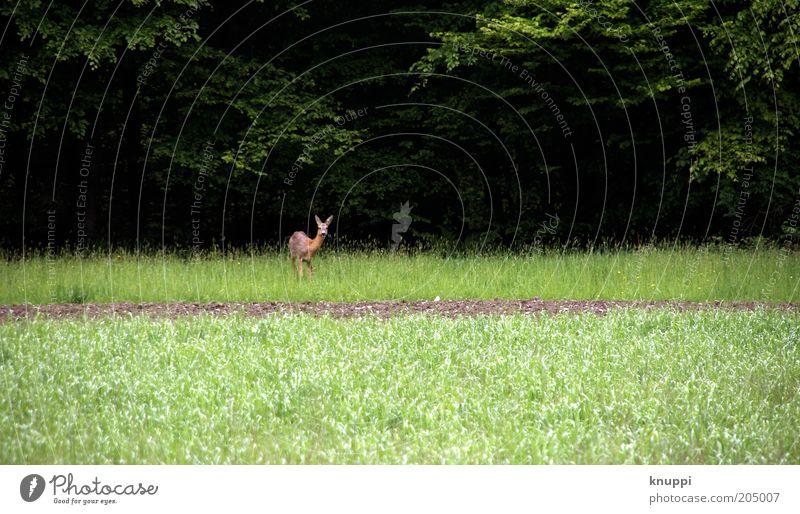 Waldrand Natur Baum grün Pflanze Sommer ruhig schwarz Tier Wald dunkel Wiese Freiheit braun Feld warten