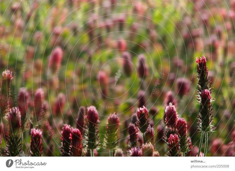 inkarnatklee Natur Pflanze rot Wiese Blüte Feld Stengel Klee Blume Nutzpflanze Pflanzenteile Rotklee