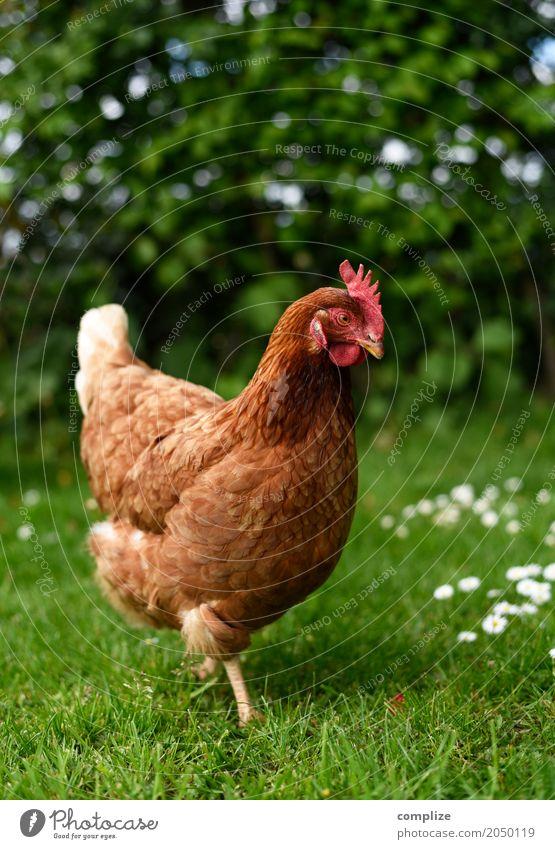 Ich wollt ich wär ein Huhn Natur Tier Umwelt Essen Wiese Gesundheit Garten Lebensmittel gehen Freizeit & Hobby Häusliches Leben Feld Ernährung Idylle Ostern