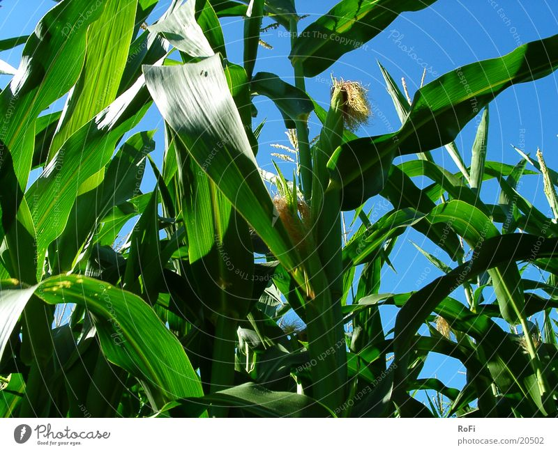 im Maisfeld Himmel Sonne grün blau Sommer Wärme Feld Physik Getreide Landwirtschaft Ackerbau