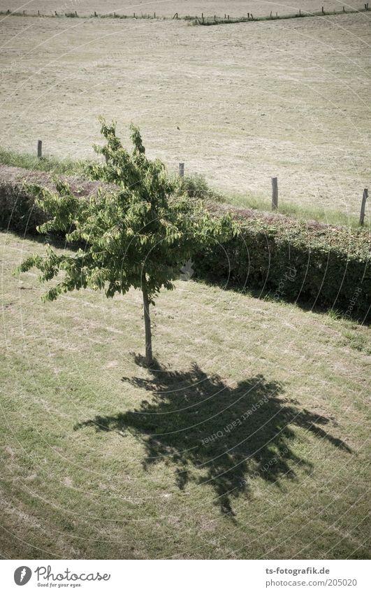 Heckensteher III Natur Landschaft Sommer Wärme Dürre Pflanze Baum Gras Grünpflanze Nutzpflanze Obstbaum Heu Heuernte Rasen Garten Park Wiese Feld Linie Grenze