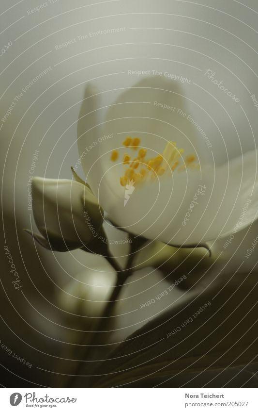 Beginnings Natur schön weiß Blume grün Pflanze Sommer Blüte Frühling Umwelt Zeit ästhetisch Wachstum offen authentisch Vergänglichkeit