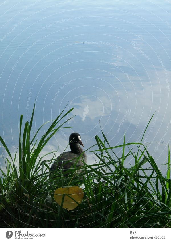 Blässhuhn Wasser blau Blatt Gras See Vogel Möwenvögel