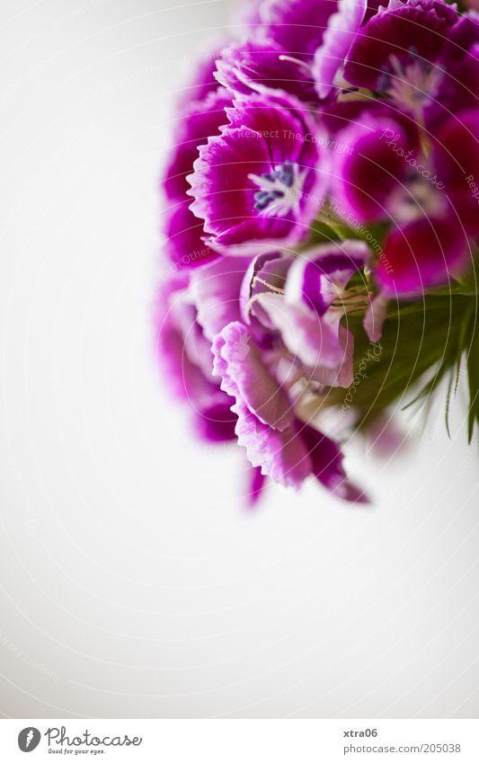 mädchenblümchenfarben Pflanze Blume Blüte violett rosa Farbfoto Innenaufnahme Nahaufnahme Textfreiraum unten Schwache Tiefenschärfe Gartennelke Blühend