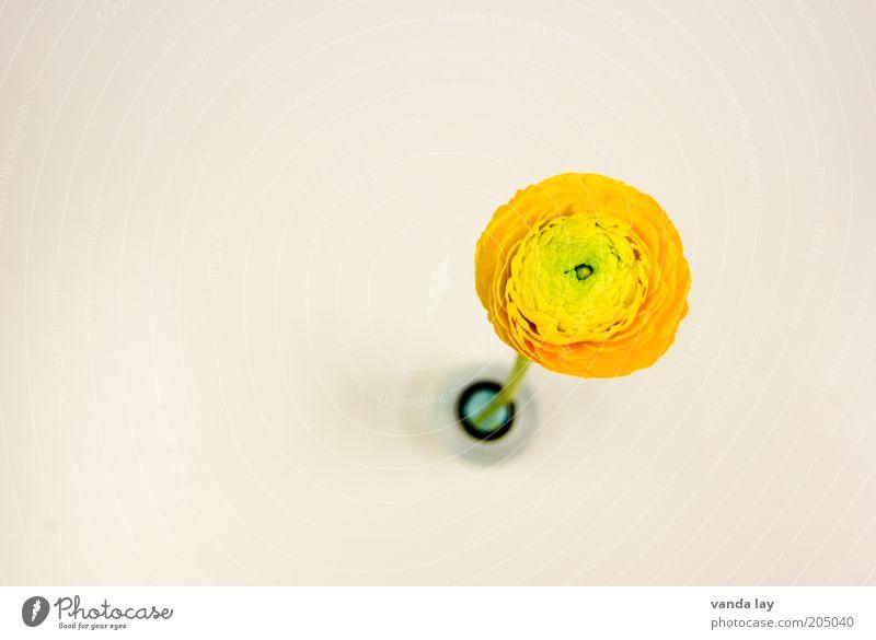 Textfreiraum ;-) Blume orange frisch Kreis rund Dekoration & Verzierung Vase Strukturen & Formen Freisteller Ranunkel