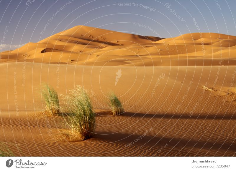 Himmel Natur Ferien & Urlaub & Reisen Pflanze Umwelt Landschaft Wärme Gras Sand Wüste Schönes Wetter Afrika Düne Morgen Sonnenuntergang Sahara