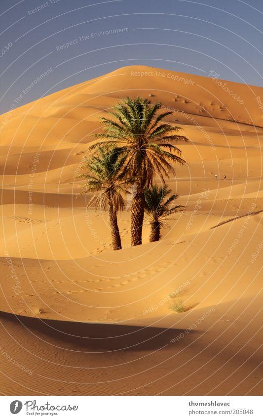 Natur Baum Ferien & Urlaub & Reisen Pflanze Umwelt Landschaft Wärme Sand Wüste Schönes Wetter Düne Palme Sahara Marokko Wildpflanze Afrika