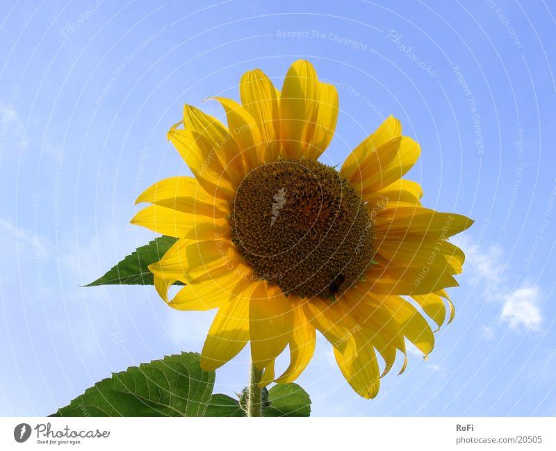 Sonnenblume Himmel Sonne Blume Pflanze Sommer Sonnenblume