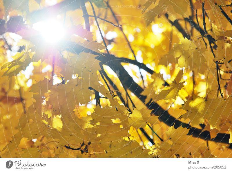 der Herbst ist daaa Baum Blatt gelb gold Sonne Ast Ahorn Herbstlaub herbstlich Farbfoto mehrfarbig Außenaufnahme Reflexion & Spiegelung Sonnenlicht