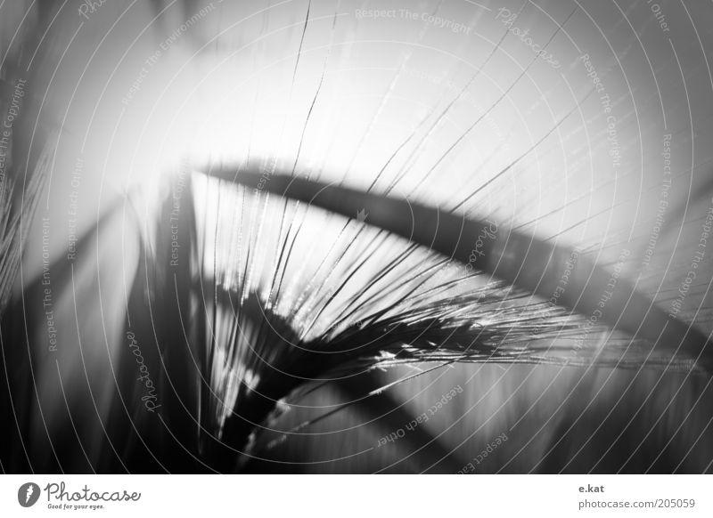 Froschperspektive Natur weiß Sommer schwarz Gras Sträucher Schwarzweißfoto Ähren Zeit Lichteffekt