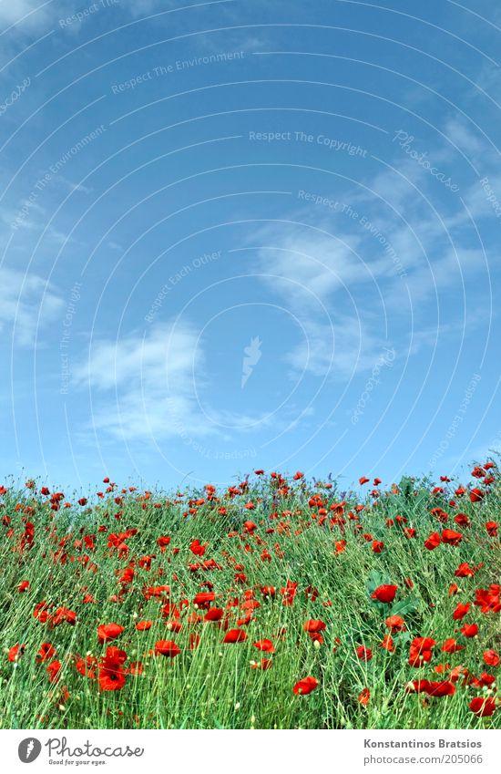 wieder mal Mohntag Natur schön Himmel weiß grün blau Pflanze rot Sommer Wolken Farbe Blüte Wärme natürlich Blühend