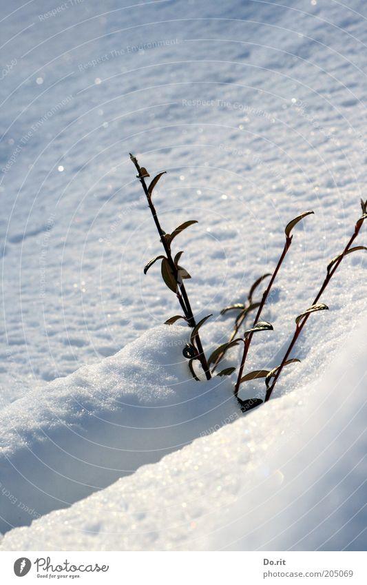 Schneebad gefällig - bei diesem schönen Wetter? Umwelt Natur Sonne Winter Klima Klimawandel Schönes Wetter Eis Frost Pflanze Sträucher frei frisch kalt nass