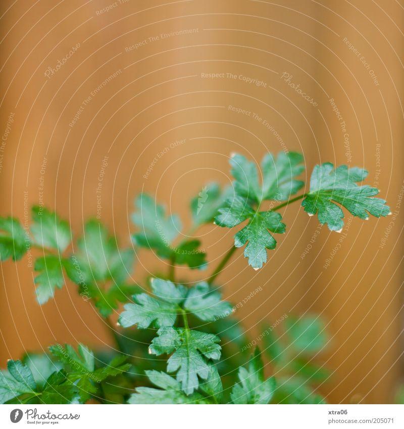 peter Natur Pflanze Blatt Nutzpflanze lecker Petersilie glatte Petersilie Kräuter & Gewürze Farbfoto Außenaufnahme Nahaufnahme Textfreiraum oben Küchenkräuter