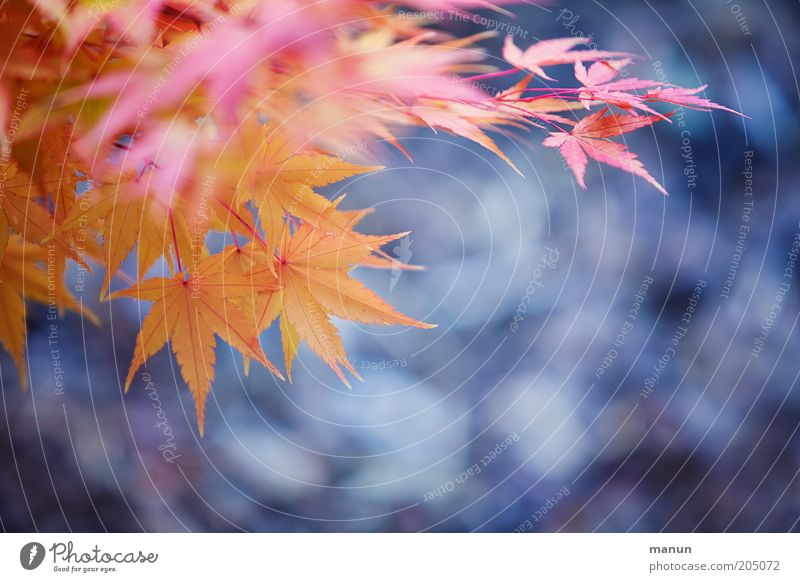 Ahornlaub Natur Blatt Ahornblatt Ahornzweig Herbst Herbstlaub Herbstfärbung herbstlich Herbstbeginn alt verblüht Wachstum schön gelb violett rosa