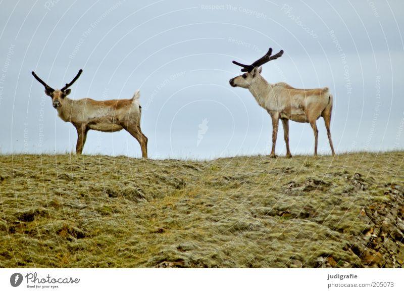 Island Umwelt Natur Himmel Gras Wiese Hügel Tier Wildtier Rentier 2 beobachten gehen stehen natürlich Stimmung Erwartung Tierpaar Zusammensein Farbfoto