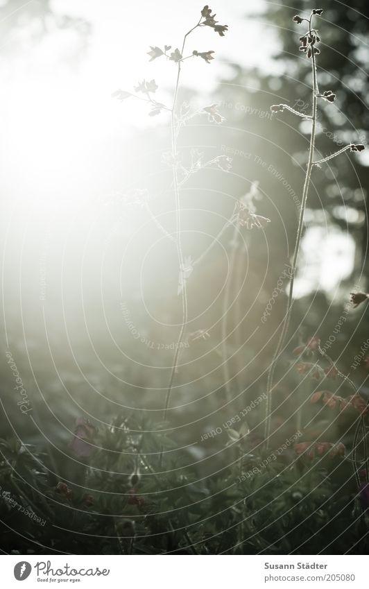 Guten Morgen Sonne! Pflanze Wiese Gras Garten Feld Nebel leuchten viele Halm blenden Reflexion & Spiegelung Traumwelt