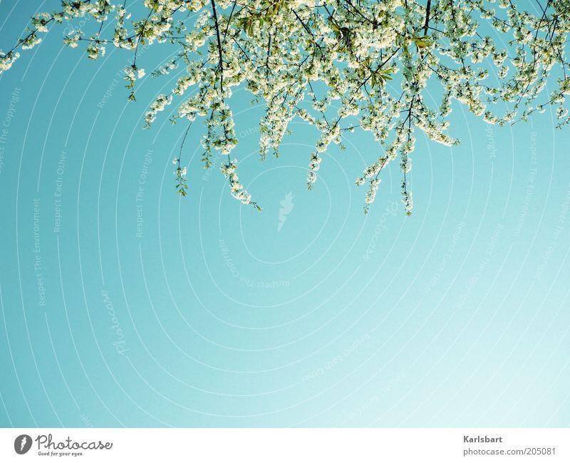 blooming. schön Sommer Umwelt Natur Pflanze Himmel Wolkenloser Himmel Frühling Schönes Wetter Blüte Blühend Duft blau weiß Hoffnung Leichtigkeit Geäst