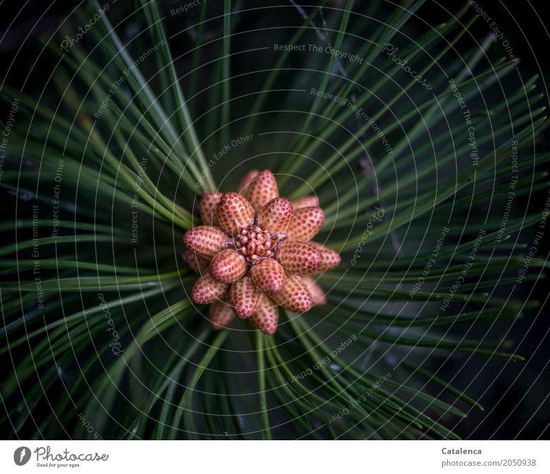 Ringelreihen | Kiefernzapfenblüte Natur Pflanze grün Baum Wald schwarz gelb Blüte Frühling braun Design Park Wachstum ästhetisch Erfolg Blühend