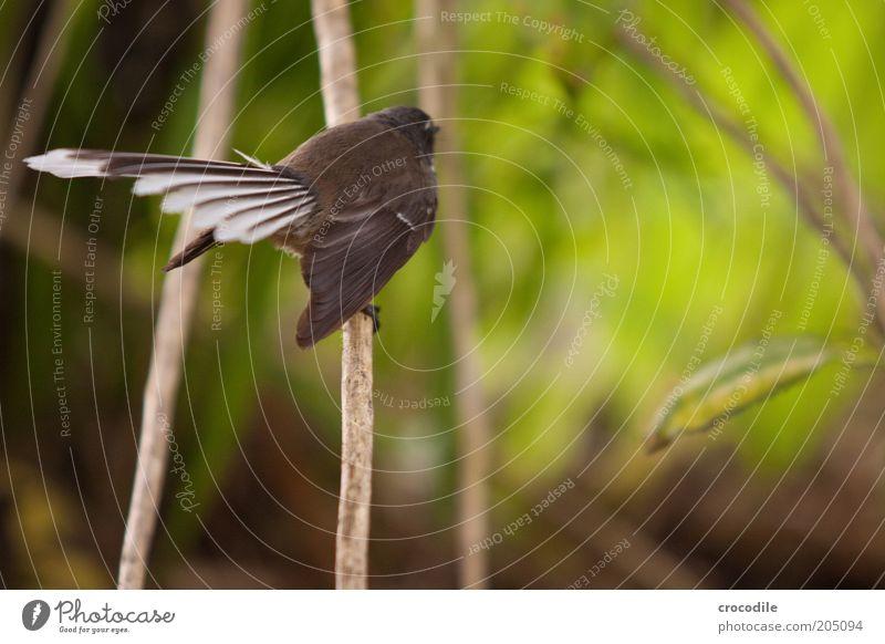 New Zealand 99 Natur Pflanze Tier Umwelt Landschaft Vogel Wildtier sitzen außergewöhnlich elegant ästhetisch Feder Sträucher einzigartig Ast Urwald